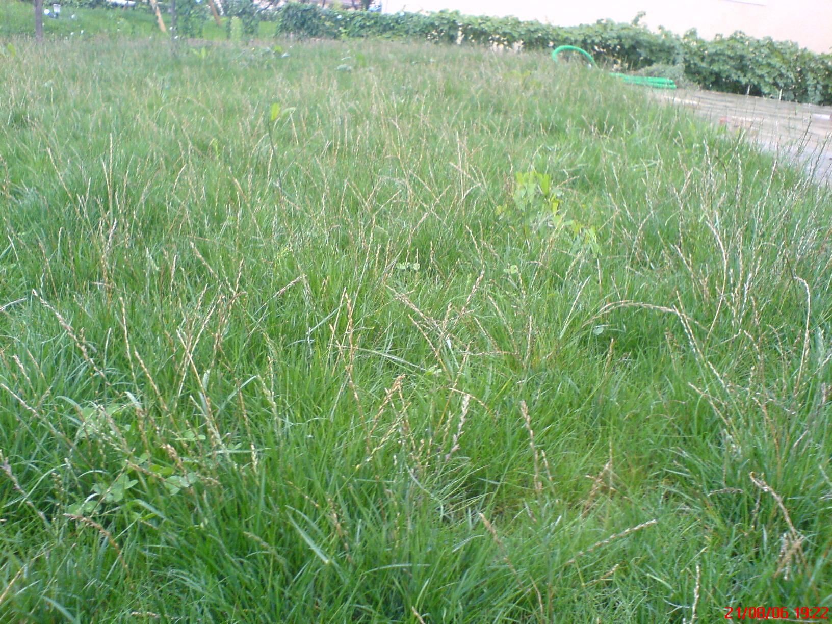 mauvaise herbe dans le gazon